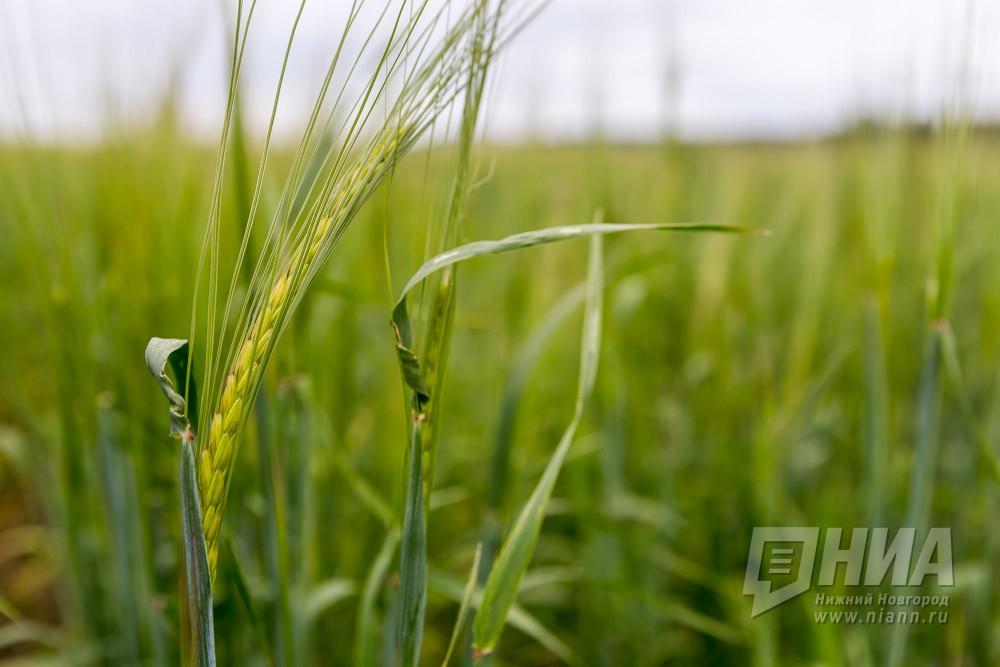 Нижегородская область планирует увеличить производство зерна на5%