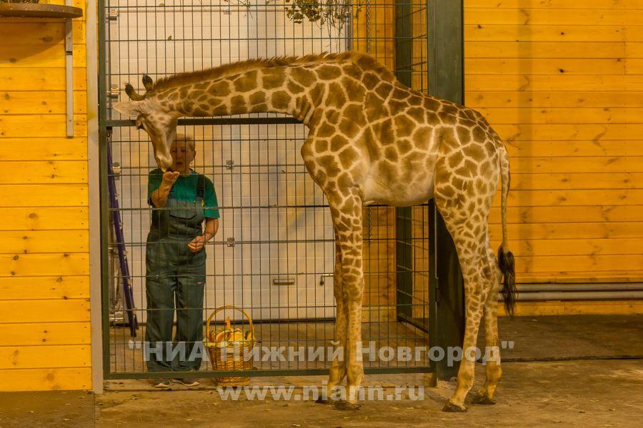 Нижегородский зоопарк «Лимпопо» отметит двухлетие жирафа Радуги 22октября