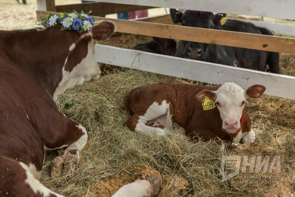 Животноводческий комплекс на409 коров открылся вНижегородской области
