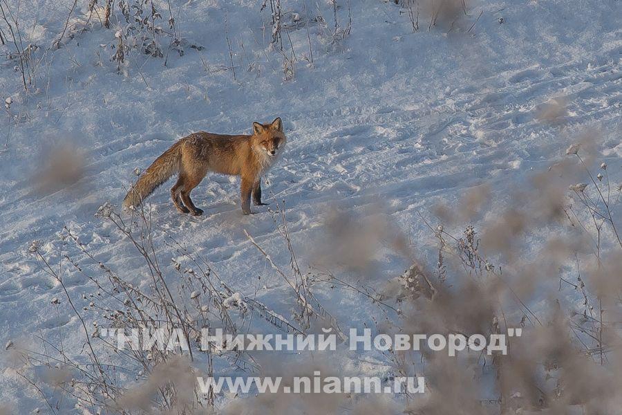Бешеная лиса забежала наводопроводную станцию вНижнем Новгороде