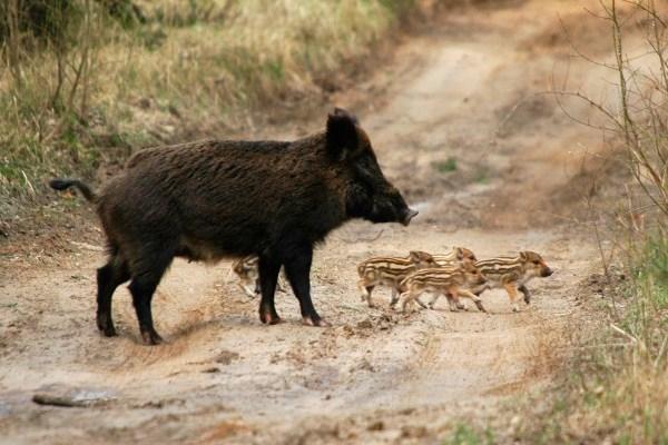 Численность диких кабанов влесах Нижегородской области сократят натреть