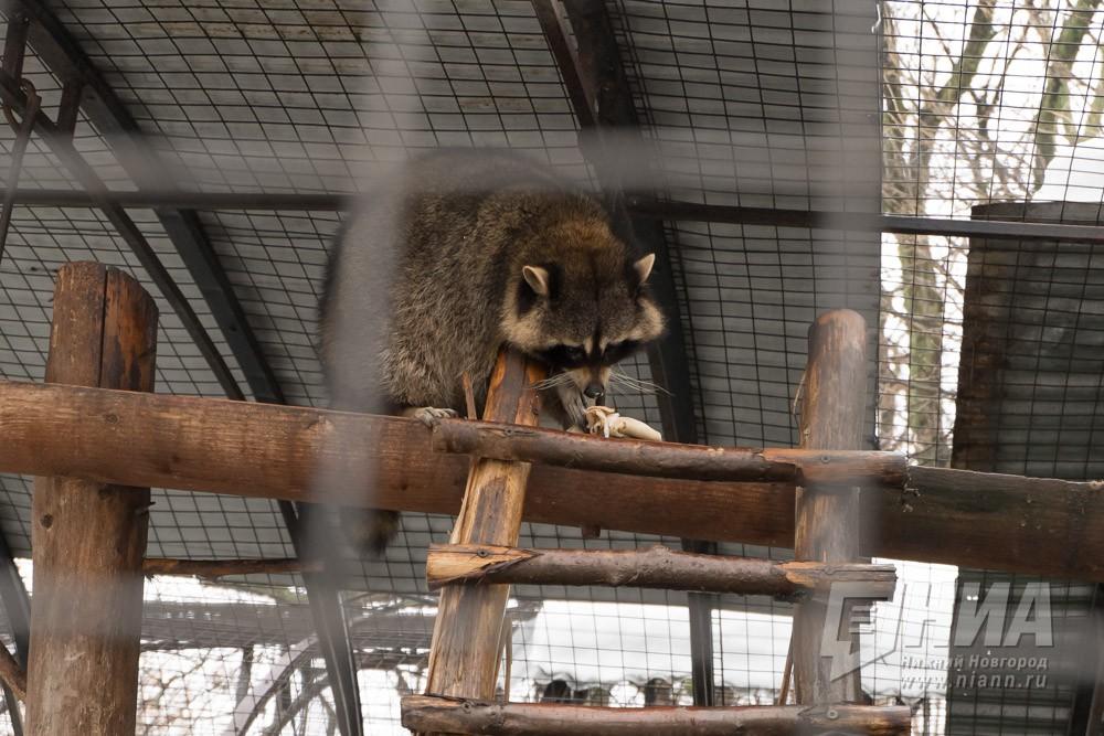 Нижегородская область: Питомцев нижегородского зоопарка угостили блинами вчесть Масленицы