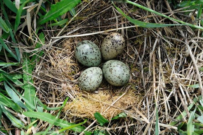 Нижегородец заплатит 60 тыс. руб. заизъятые изгнезда яйца чайки