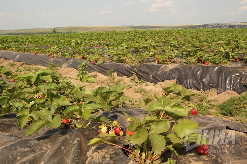 ВНижегородской области планируют собрать 140 тонн ягод индустриального производства