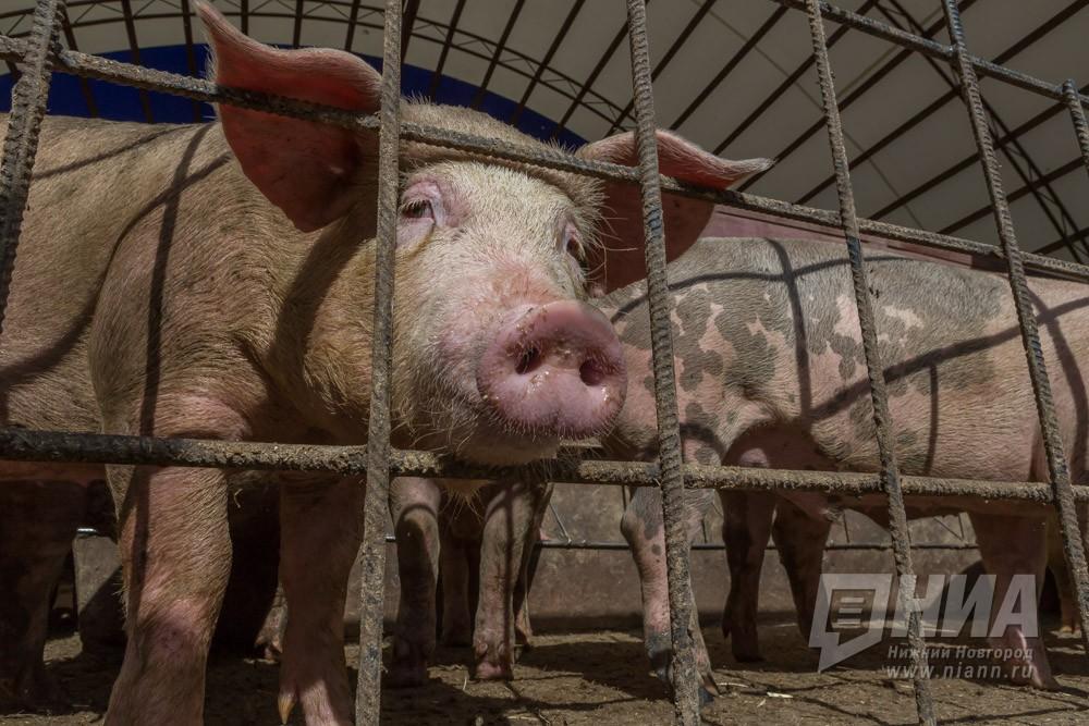 Вирус африканской чумы свиней найден вНижегородской области