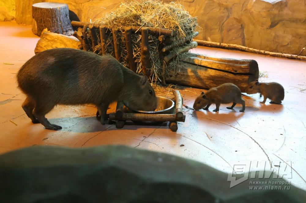 Семьи капибар идикобразов пополнились двойняшками внижегородском зоопарке «Лимпопо»