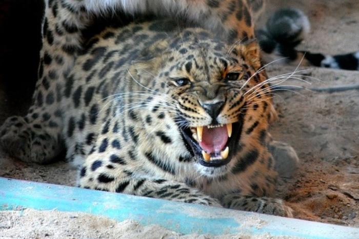 Нижегородец выгуливал леопарда надетской площадке