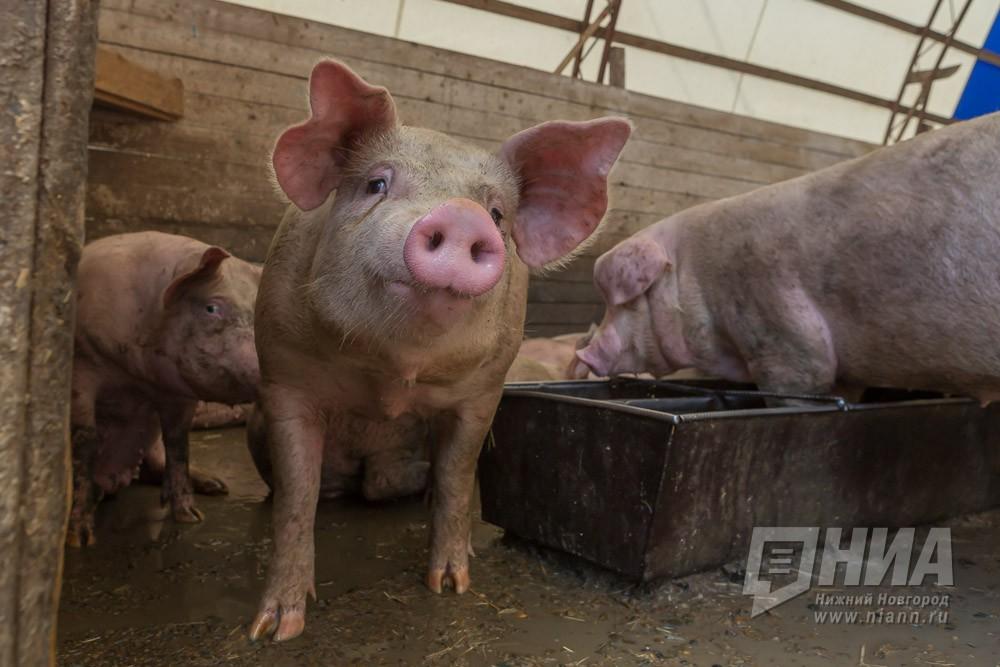 Инвестсовет Нижегородской области поддержал оказание господдержки строящемуся вБольшемурашкинском районе свиноводческому комплексу